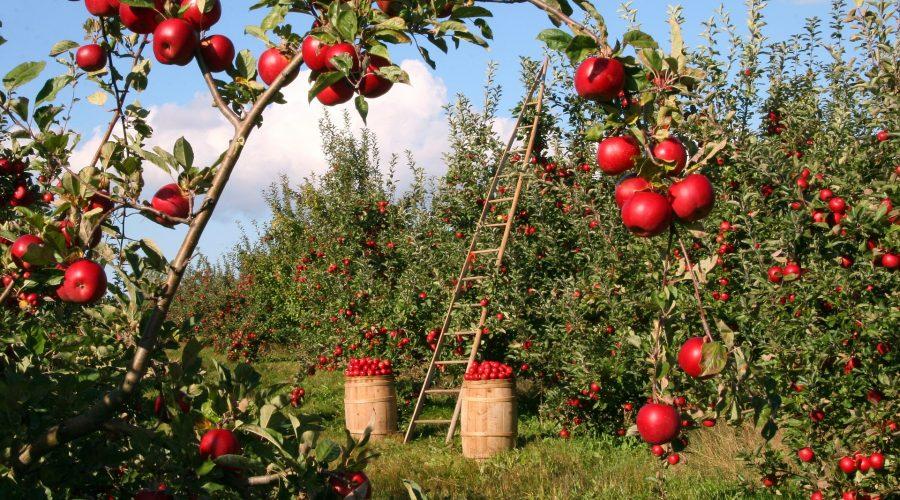 Agricultura_manzanas